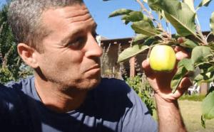 תפוח ענה בעציץ גדול במרפסת או בגינה פרטית