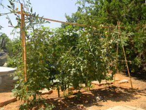 עגבניות בהדלייה