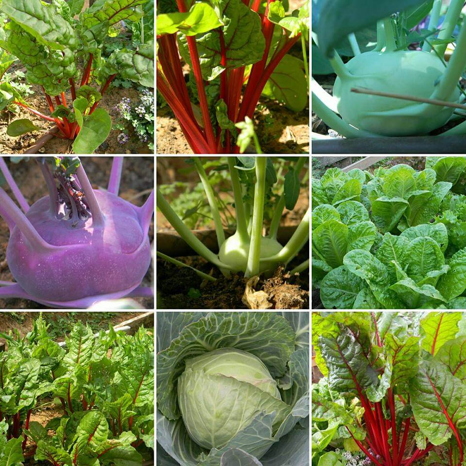 לקט ירקות